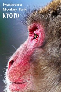 Why you need to visit the monkey park in Kyoto!