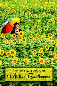 Get Lost in a Field of 1 Million Sunflowers