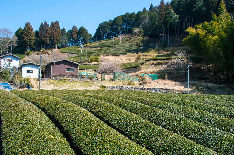 Kyoto Team Farm | Kyoto Tea | Sencha Tea | Japanese Tea | Matcha Tea Japan | Kyoto Travel | Kyoto Travel Guide | Japanese Tea Fields | Tea Farm Japan | Japan Guide | Kyoto Guide