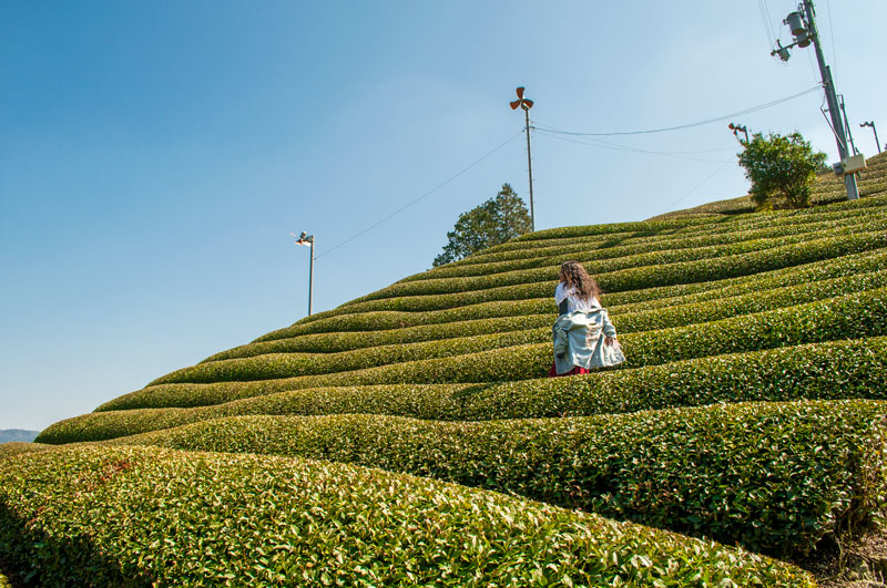 The Best Team Farm in Kyoto | Kyoto Tea | Sencha Tea | Japanese Tea | Matcha Tea Japan | Kyoto Travel | Kyoto Travel Guide | Japanese Tea Fields | Tea Farm Japan | Japan Guide | Kyoto Guide
